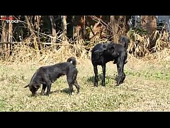 Cambodian Shepherd Vs Carolina Dog In Khnar Char Village Part 1